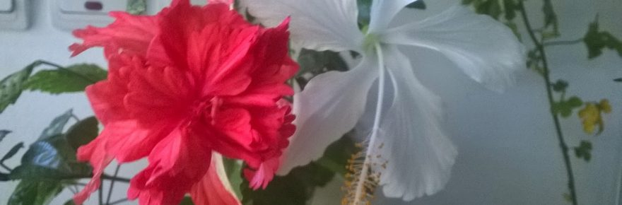 hibiscusul toamna si iarna