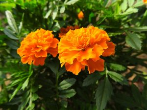plante-gardian