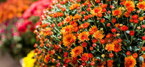 crizantemele in ghiveci