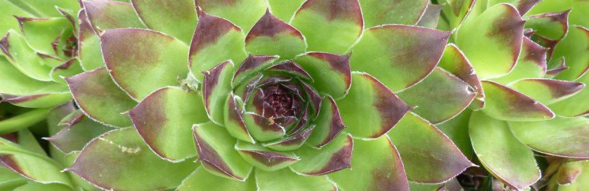 plantele suculente