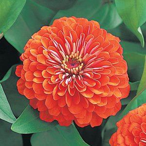 florile anului 2019 living coral