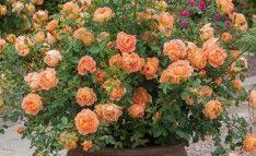 trandafirii iarna