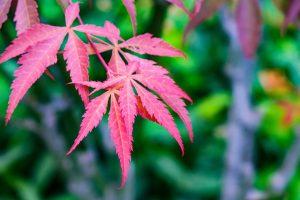 artar japonez rosu