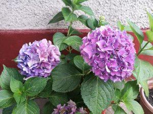 hortensia in ghiveci