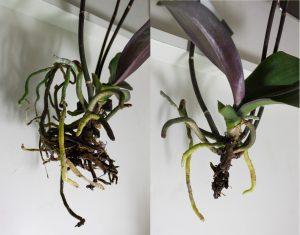 orhidee cu radacini putrezite