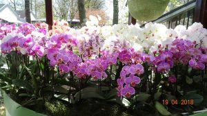 orhideea dupa inflorire