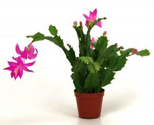 cactusul de paste si cactusul de craciun