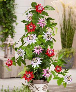 plante cataratoare