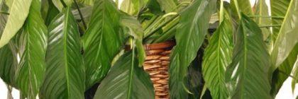 nu infloresc plantele