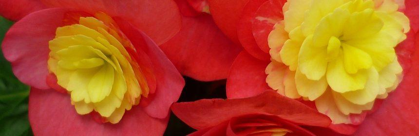 fertilizarea begoniilor