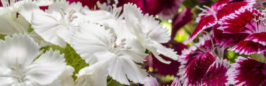 florila pe care le semanam toamna
