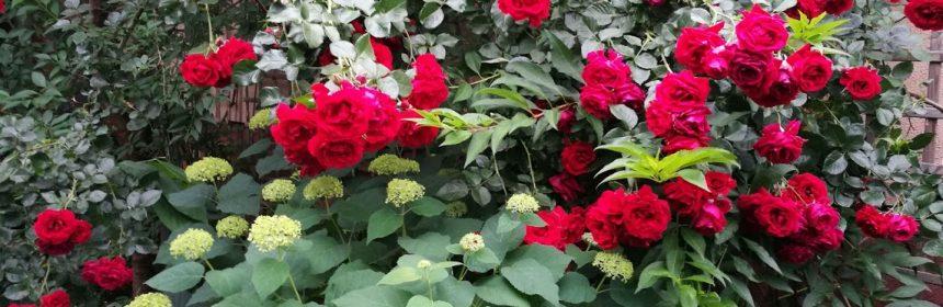 ingrijirea trandafirilor toamna