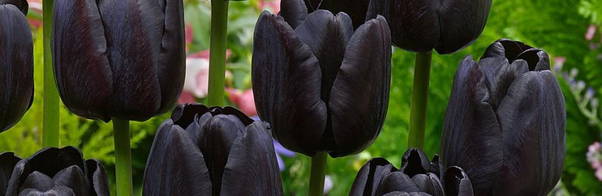lalele negre