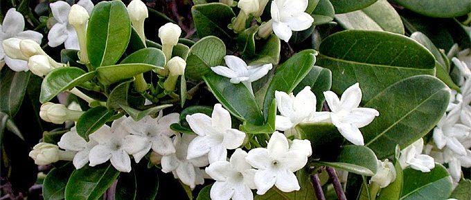 Iasomia de Madagascar Stephanotis
