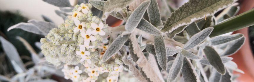 liliacul de vara cu frunze argintii