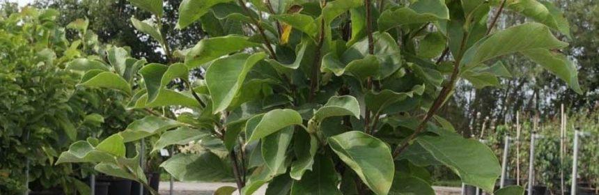 magnolia in ghiveci