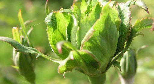trandafiri verzi viridiflora