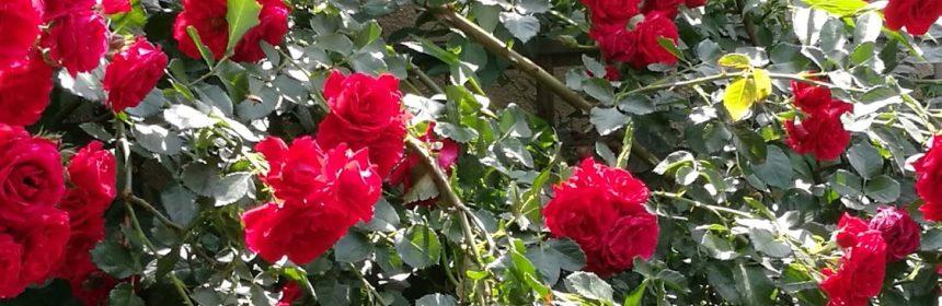 tratamente de primavara pentru trandafiri