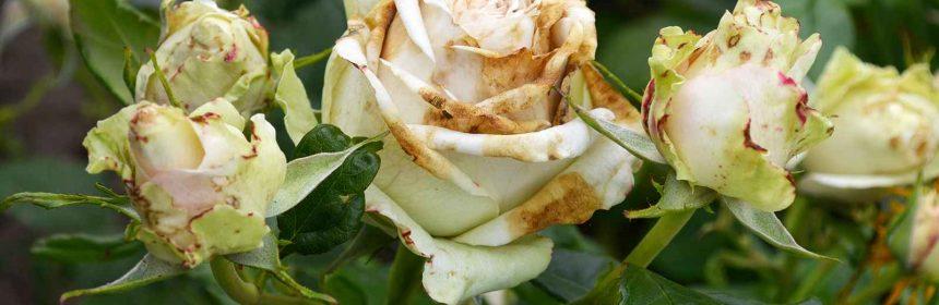 bolile fruzelor si florilor de trandafir