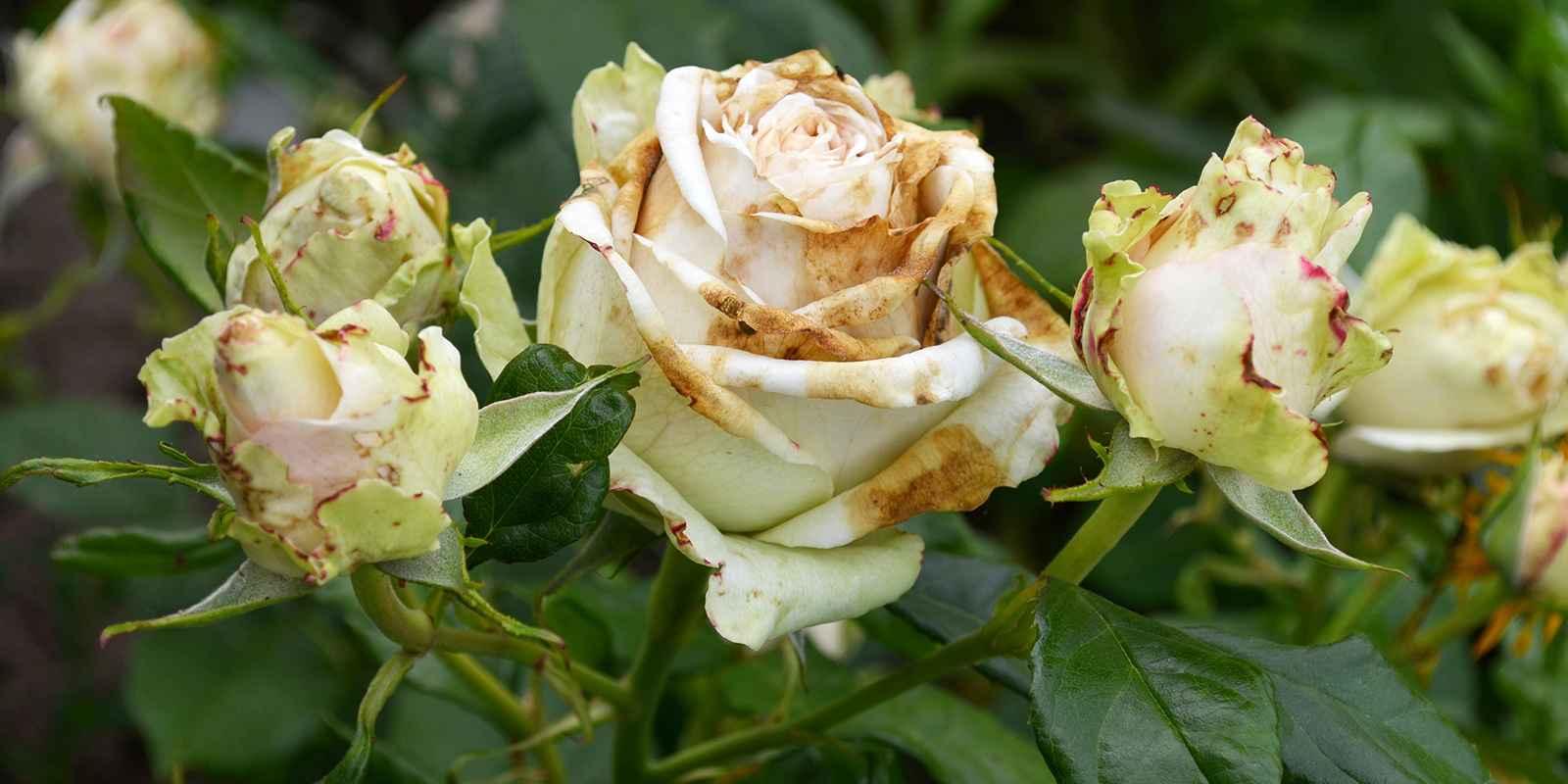 șold de trandafir în boala articulară