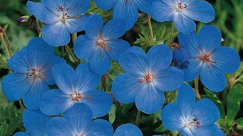 GERANIUM JONHSON'S BLUE