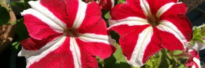 petunii curgatoare cu sute de flori