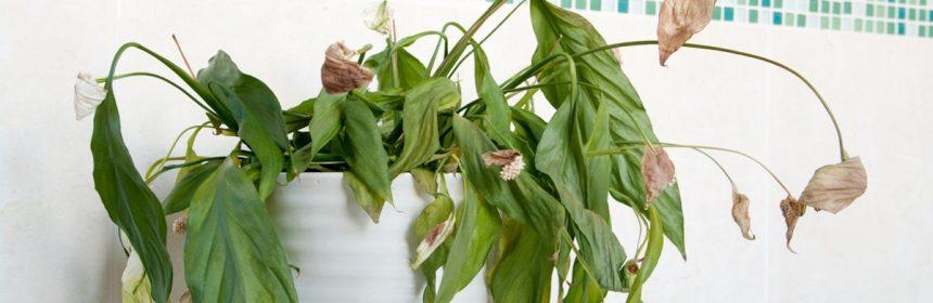 planta ofilita