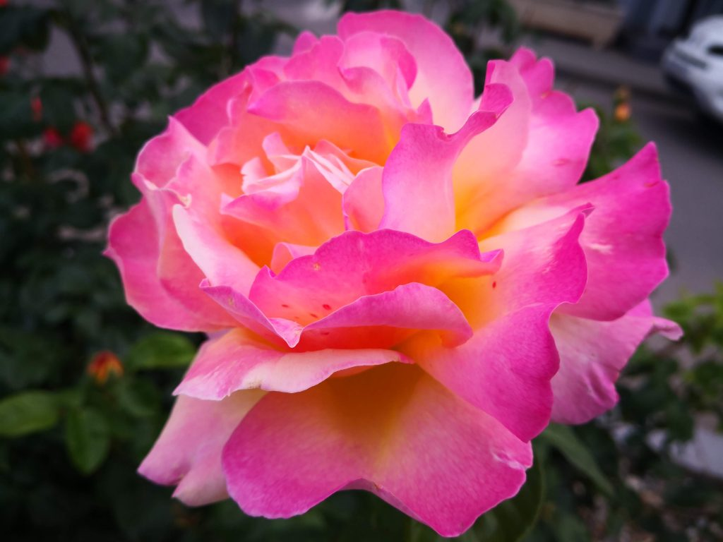 tratamente la trandafiri