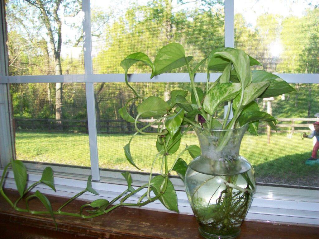 plante care cresc in pahare cu apa