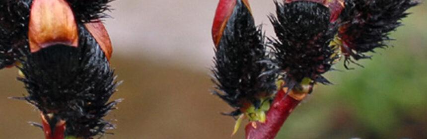 Salix gracilistyla salcia neagra