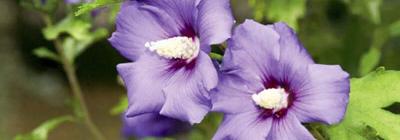 Hibiscusul de gradina